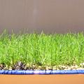 芝生の初刈り込み